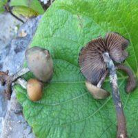 Magic Mushrooms, Tourism, and the Erasure of Mazatec Culture